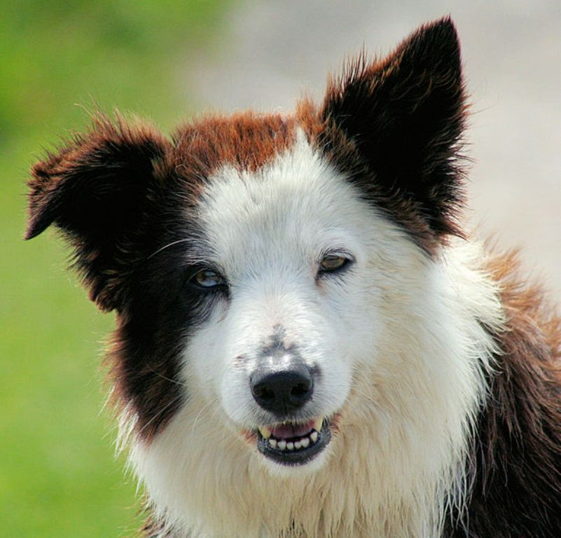 Why-Is-Collie-Dog-a-Perfect-Watchdog-7 Why Is Collie Dog a Perfect Watchdog?
