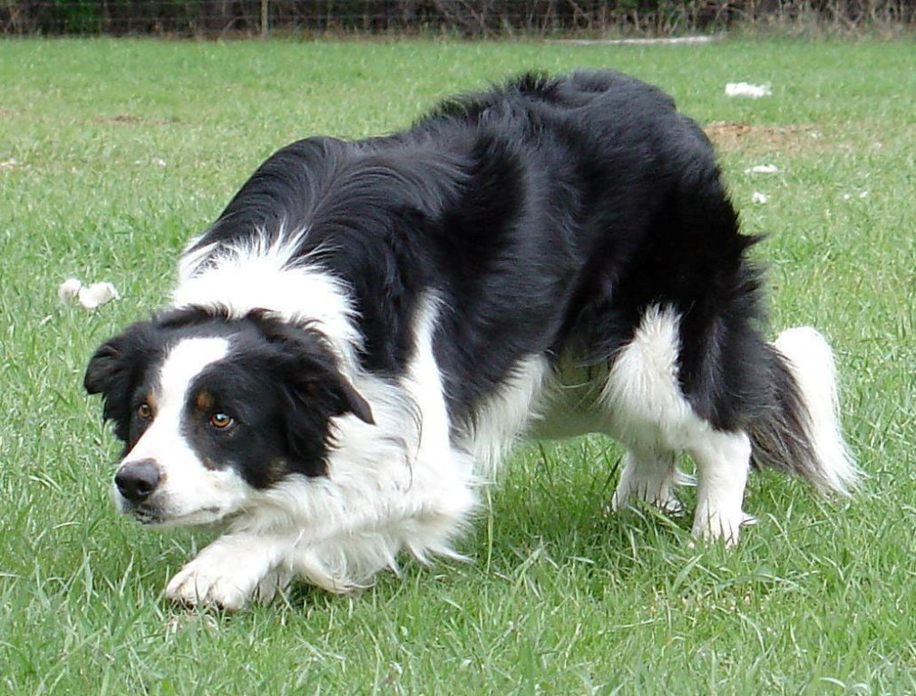 Why-Is-Collie-Dog-a-Perfect-Watchdog-8 Why Is Collie Dog a Perfect Watchdog?