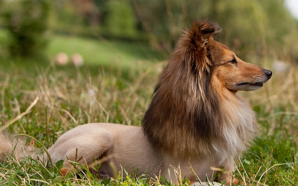Why-Is-Collie-Dog-a-Perfect-Watchdog-9 Why Is Collie Dog a Perfect Watchdog?