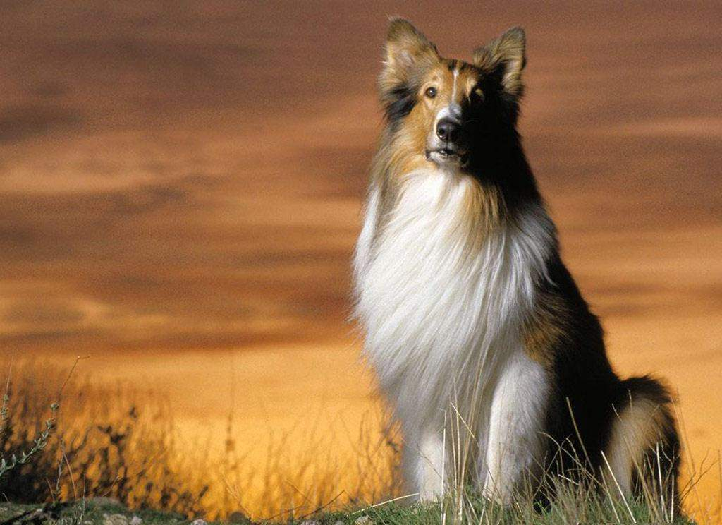 Why-Is-Collie-Dog-a-Perfect-Watchdog Why Is Collie Dog a Perfect Watchdog?