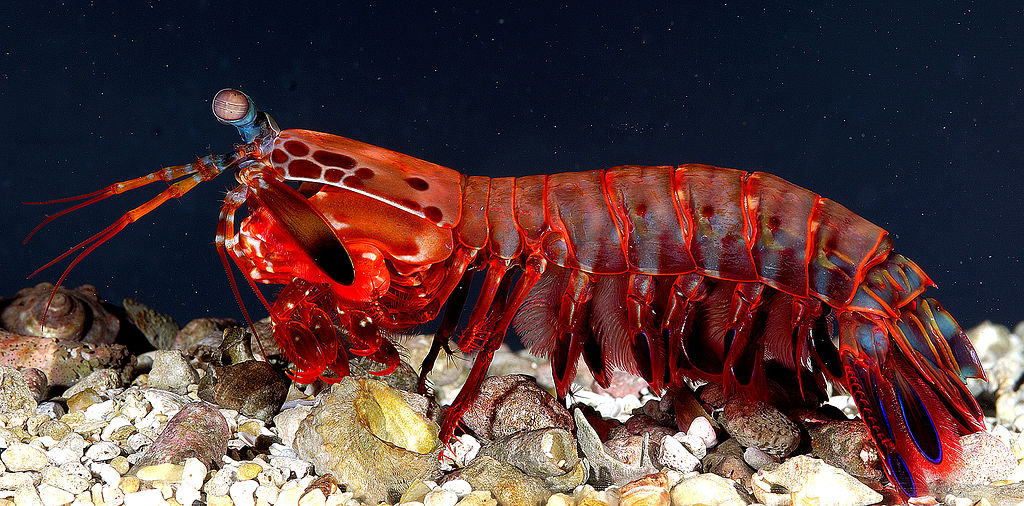1024px-OdontodactylusScyllarus2 Animals With Incredible Eyes