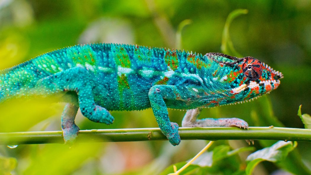 Chameleon-Lizard-Pictures5 Animals With Incredible Eyes