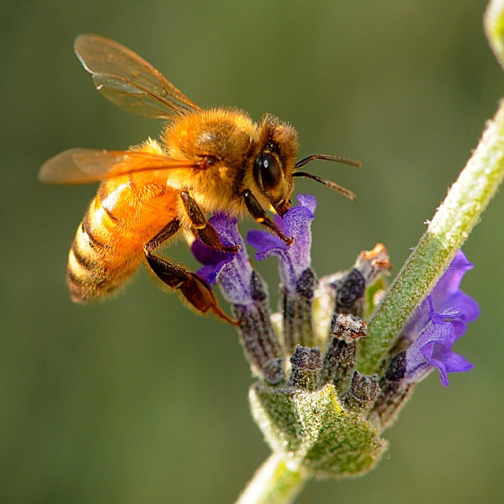 HoneyBeeW-1024x1024 Amazing Facts About Honeybees
