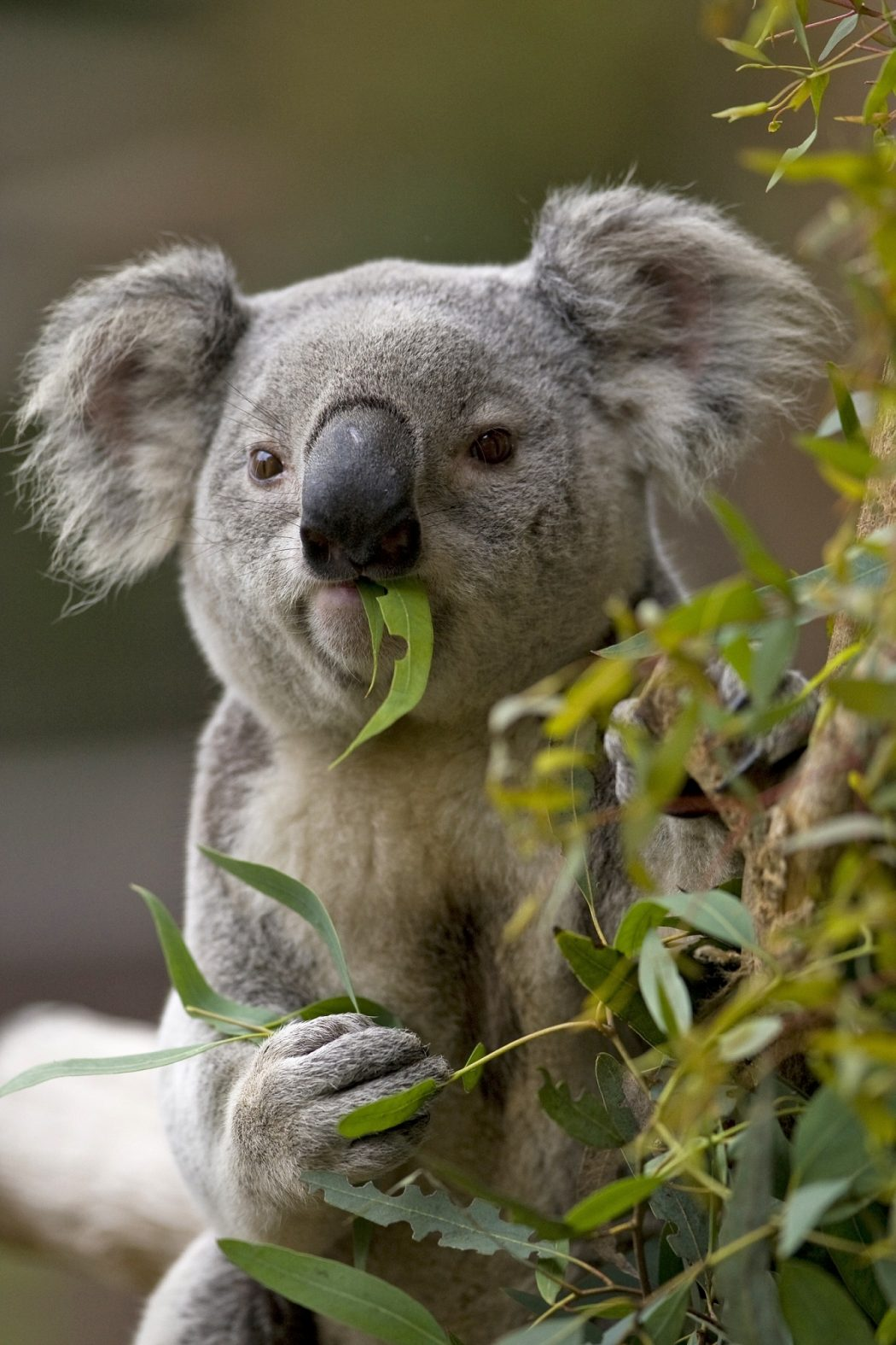 Koala-with-eucalyputs-in-mouth Adorable Facts You Should Know About Some Animals