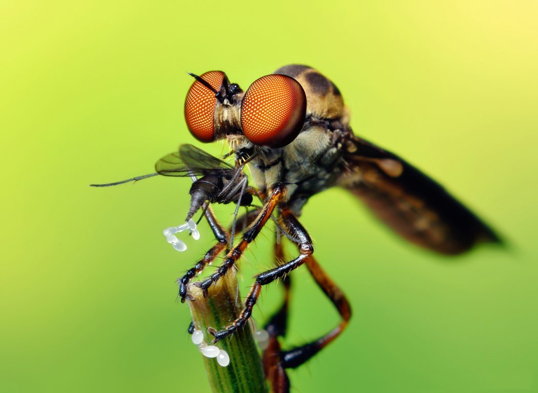 Robber_Fly_with_prey_Holcocephala_fusca_by_Thomas_Shahan Animals With Incredible Eyes