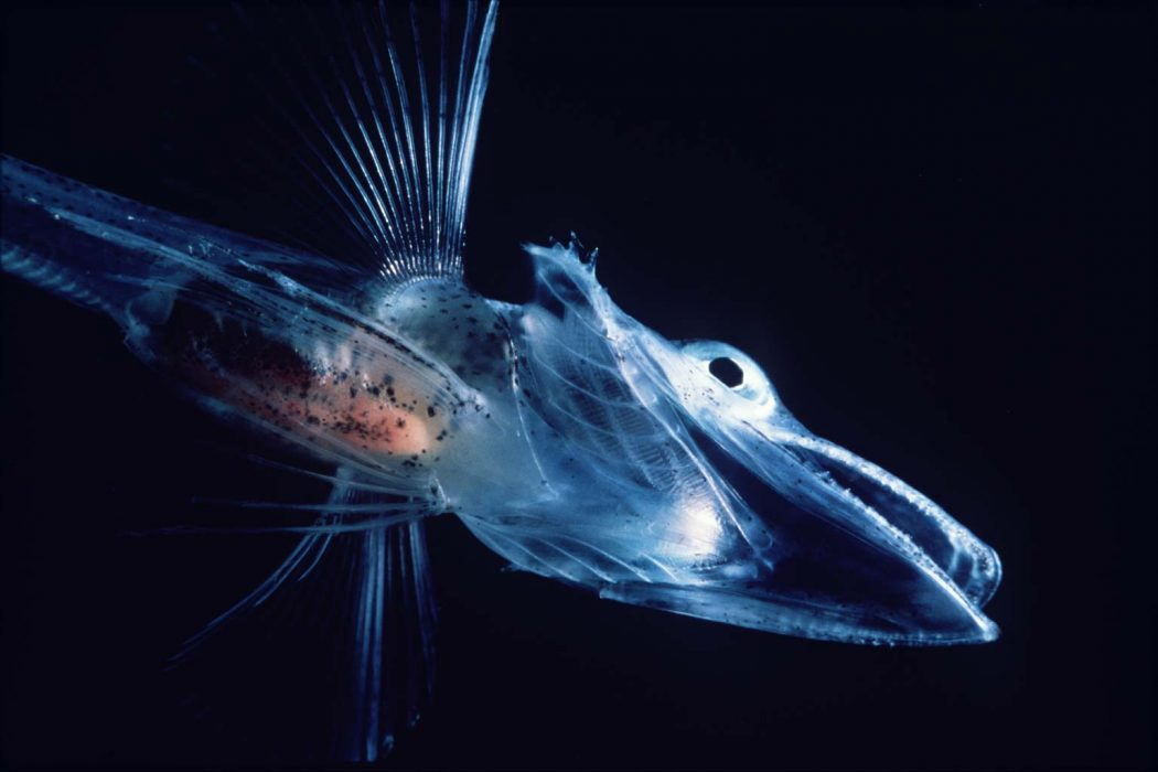 Spookfish22 Animals With Incredible Eyes