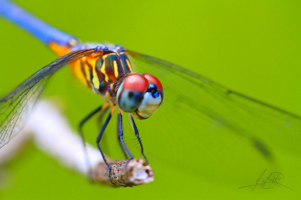 dragonfly-stare Animals With Incredible Eyes
