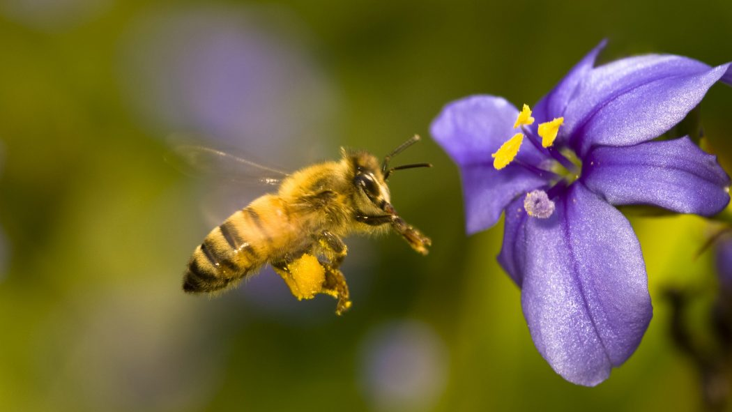 honey-bee-wide-desktop-wallpaper-in-hd-free-insects-images Amazing Facts About Honeybees
