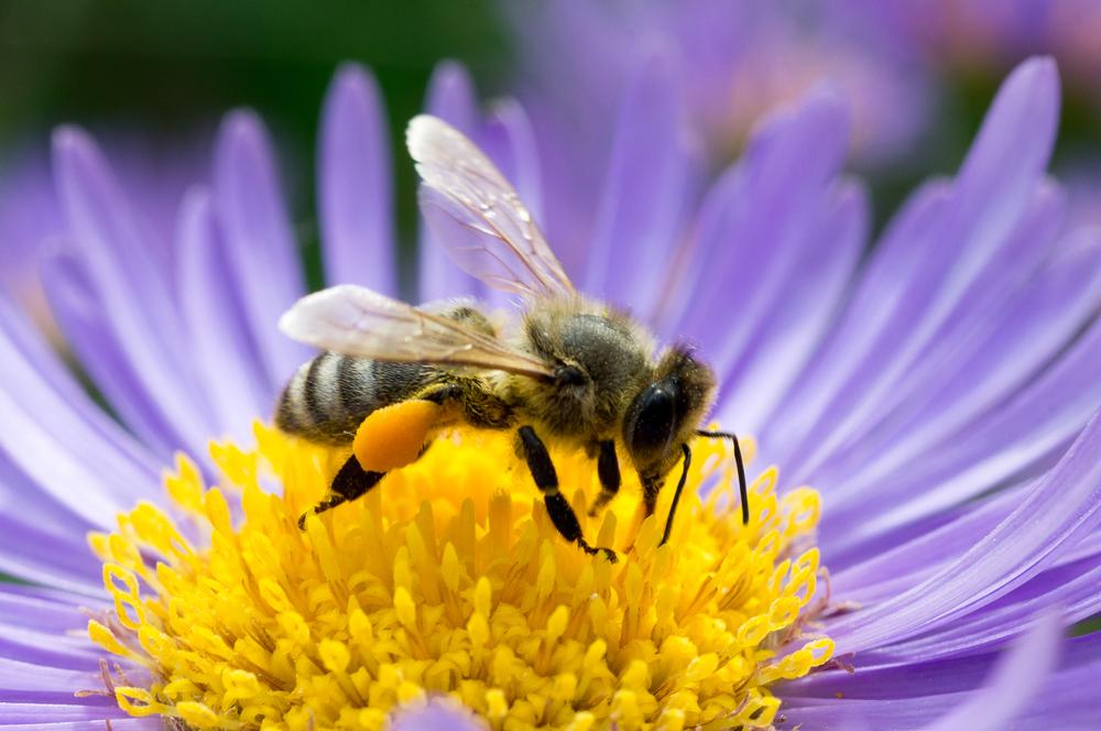 honeybee-flower1 Amazing Facts About Honeybees