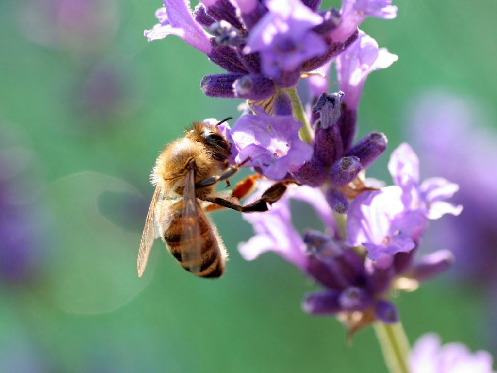 honeybee-photos-5 Amazing Facts About Honeybees