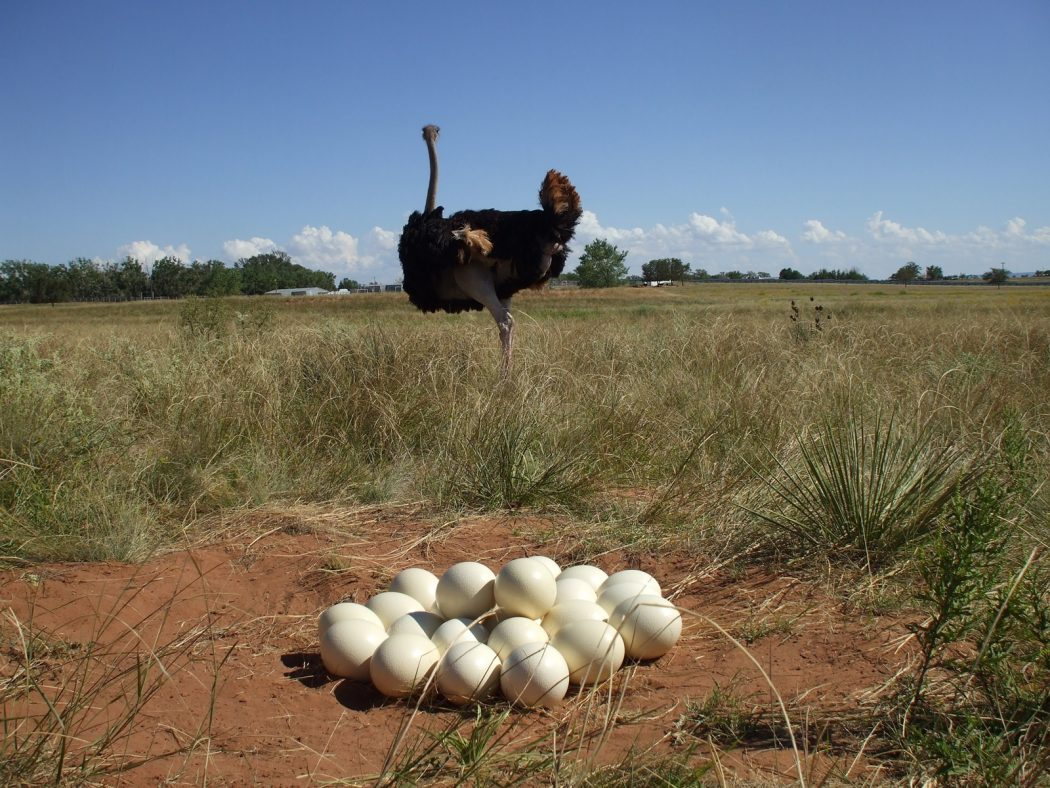 job39-ostrich_eggs Adorable Facts You Should Know About Some Animals