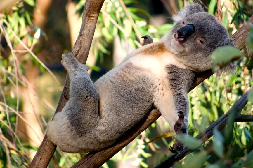 koala-bear-sleeping-australia Adorable Facts You Should Know About Some Animals