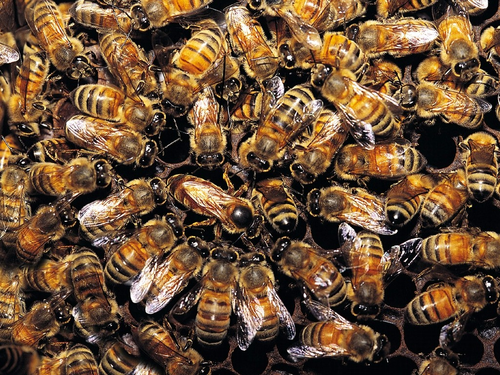 many-honeybees_1024x768_3589 Amazing Facts About Honeybees