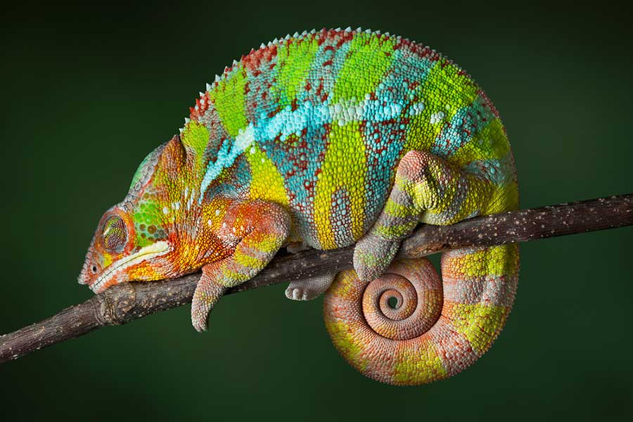 panther-chameleon Animals With Incredible Eyes