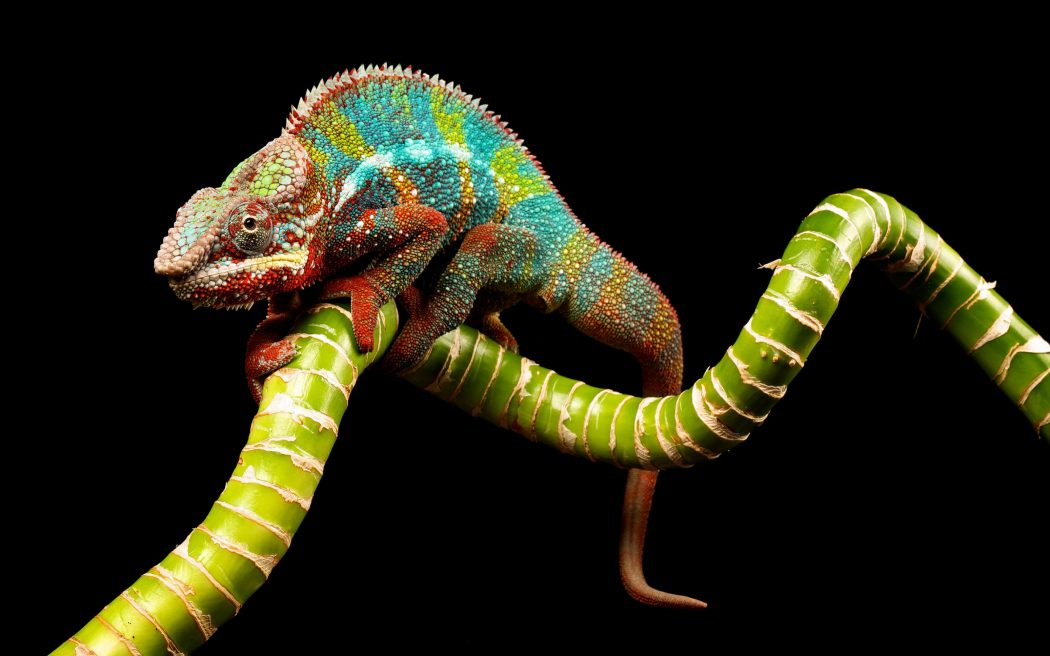 reptile_chameleon_color_twig_73105_3840x2400 Animals With Incredible Eyes