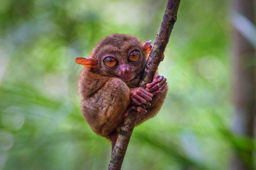 tarsier Animals With Incredible Eyes