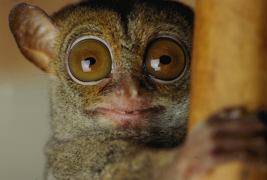 the-nocturnal-tarsier-a-rainforest-michael-nichols Animals With Incredible Eyes