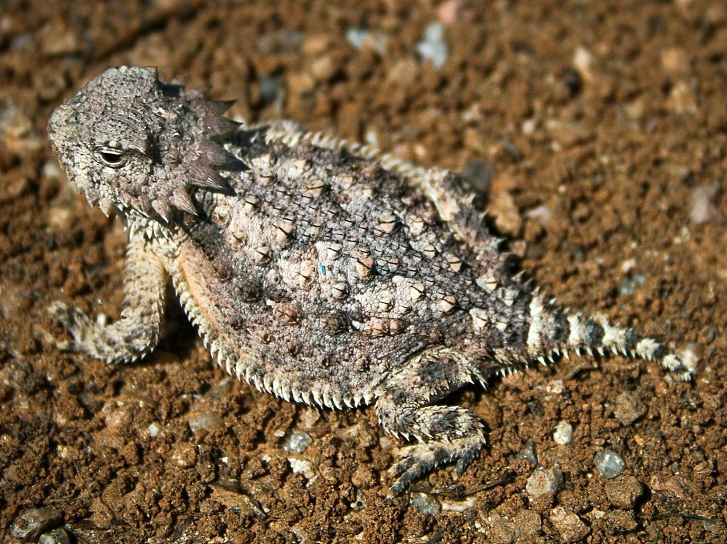 Horned_lizard_032507_kdh Top 10 Strangest Wild Animals in The World