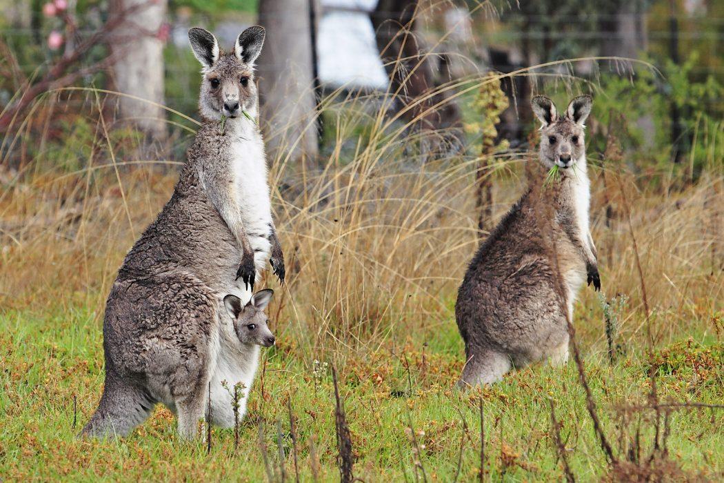 Kangaroo_and_joey04 Top 10 Strangest Wild Animals in The World