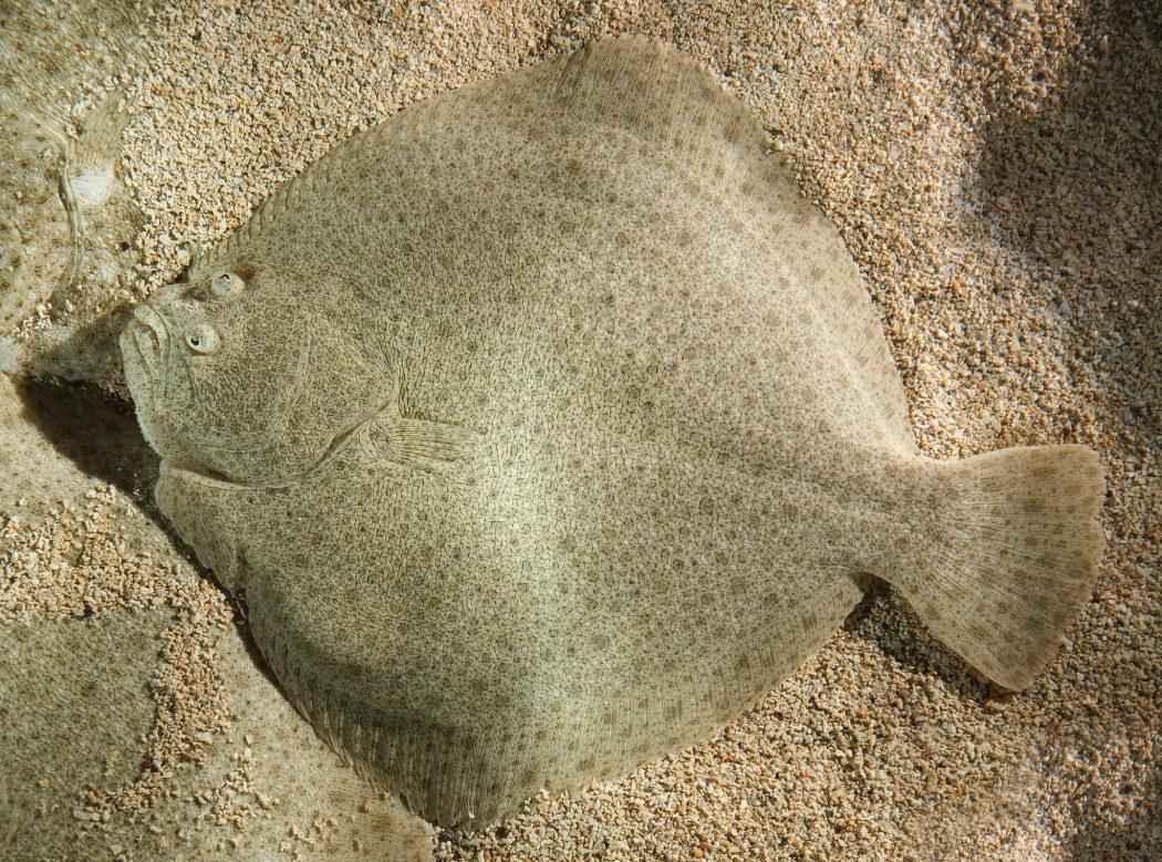flounder Top 10 Strangest Wild Animals in The World