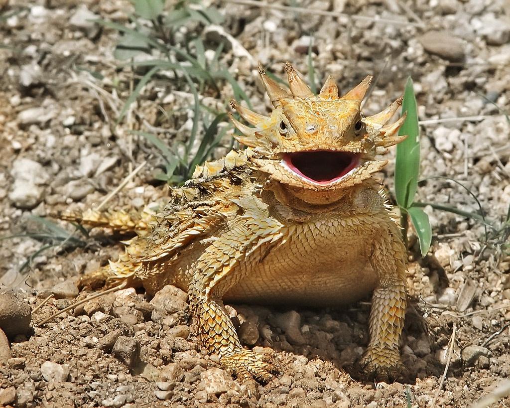 horned-lizard Top 10 Strangest Wild Animals in The World
