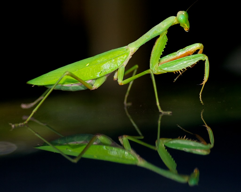 praying-mantisreflect-darwin-061210-11936 Top 10 Strangest Wild Animals in The World
