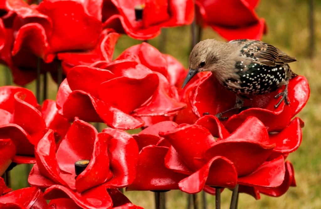 888246-Breathtaking-Poppies-Make-the-Tower-of-London-More-Stunning-251 888,246 Breathtaking Poppies Make the Tower of London More Stunning
