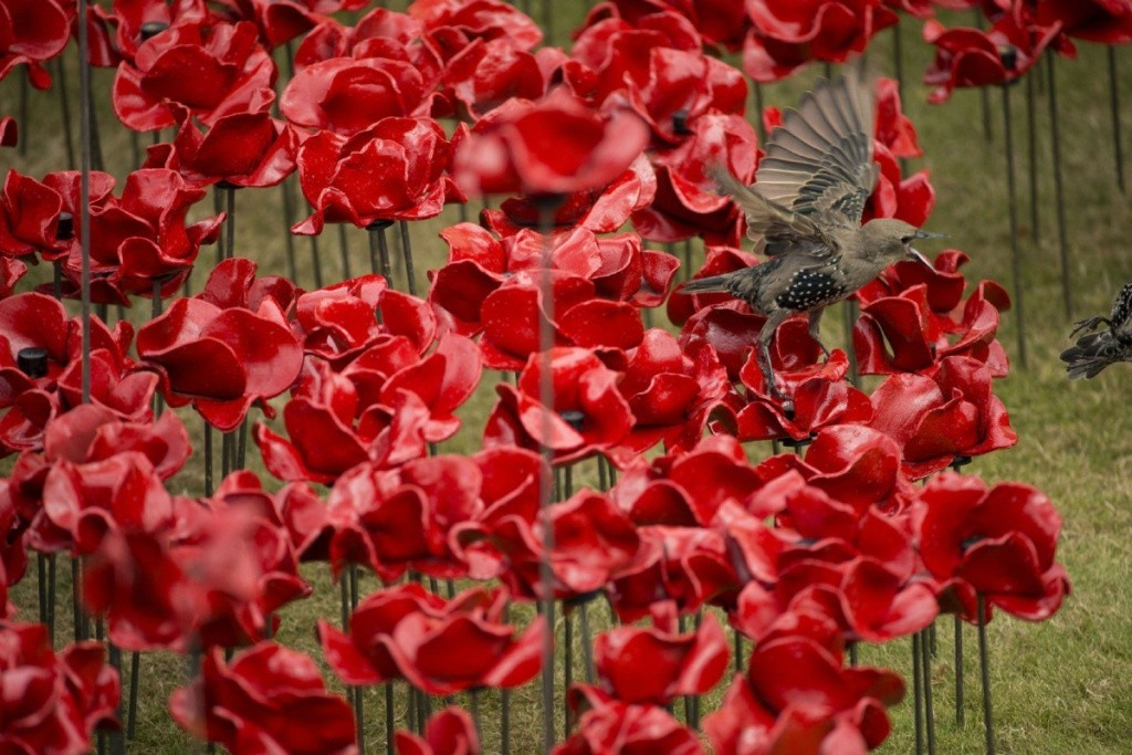 888246-Breathtaking-Poppies-Make-the-Tower-of-London-More-Stunning-271 888,246 Breathtaking Poppies Make the Tower of London More Stunning