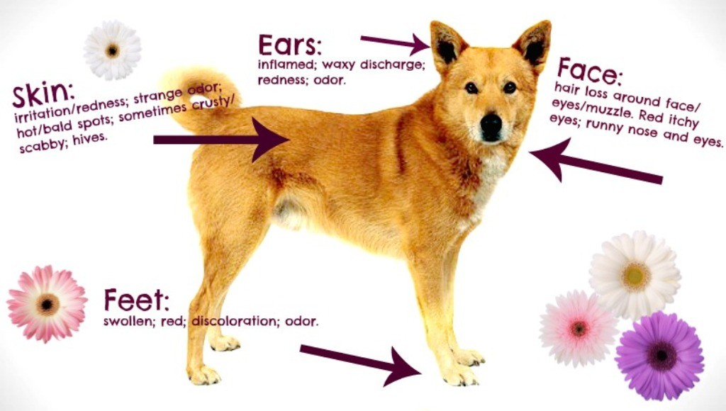 Does-Your-Pet-Have-Some-Kind-of-Allergy-15 Does Your Pet Have Some Kind of Allergy?