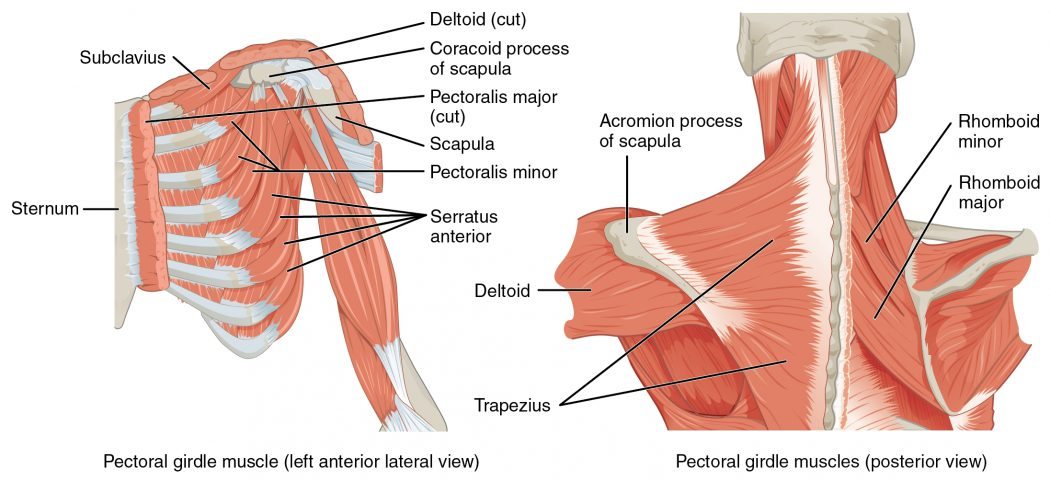 1118_Muscles_that_Position_the_Pectoral_Girdle Top 10 Strongest Muscles in The Body