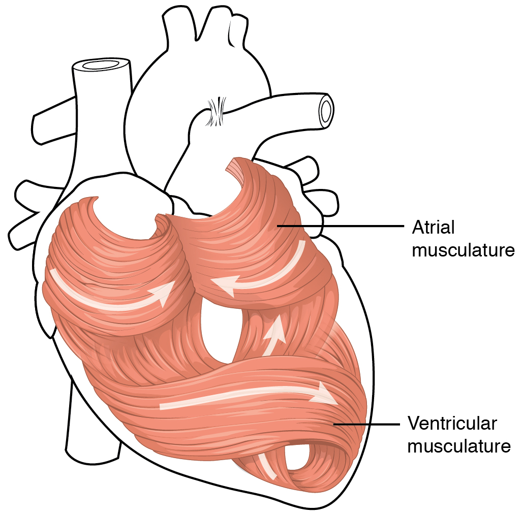 2006_Heart_Musculature Top 10 Strongest Muscles in The Body