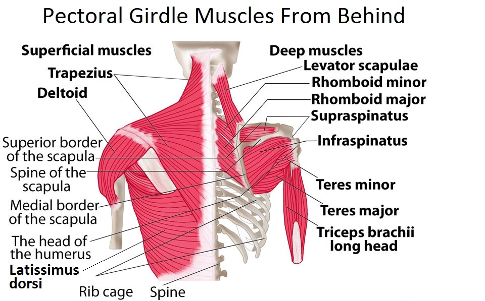 Pectoral-girdle-muscle-pictures Top 10 Strongest Muscles in The Body