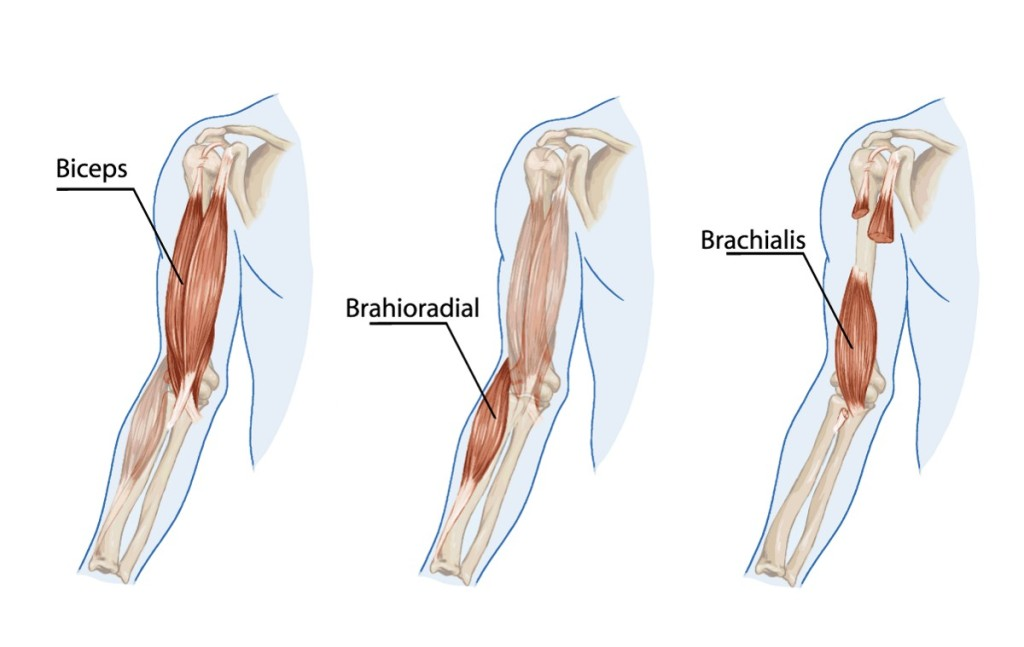 bodyman-3-examples-of-biceps-brachii-barchialis-brachioradialis-1024x647 Top 10 Strongest Muscles in The Body