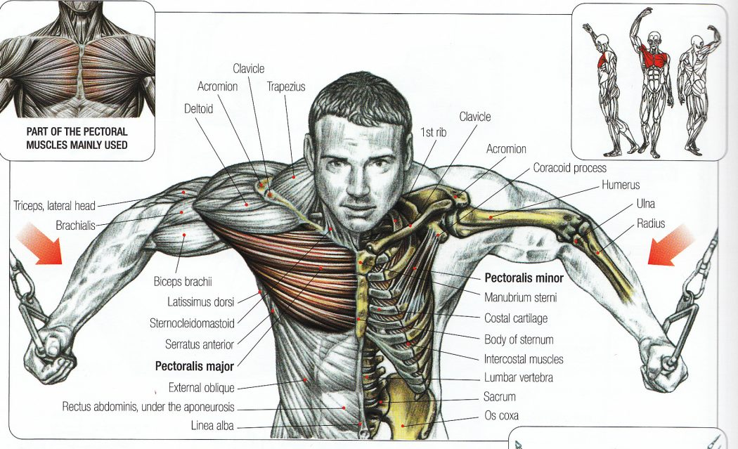 cable-flyes-anatomy Top 10 Strongest Muscles in The Body