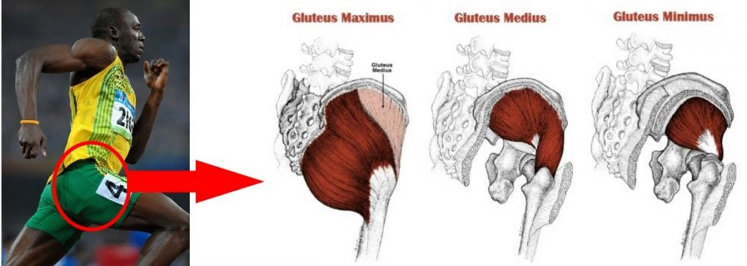 gluteal_anatomy1 Top 10 Strongest Muscles in The Body