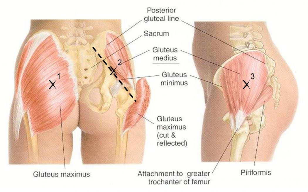 gluteus Top 10 Strongest Muscles in The Body