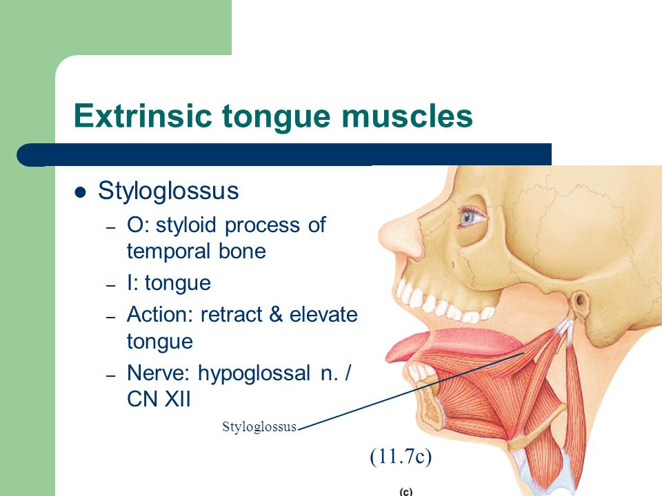 slide_19 Top 10 Strongest Muscles in The Body