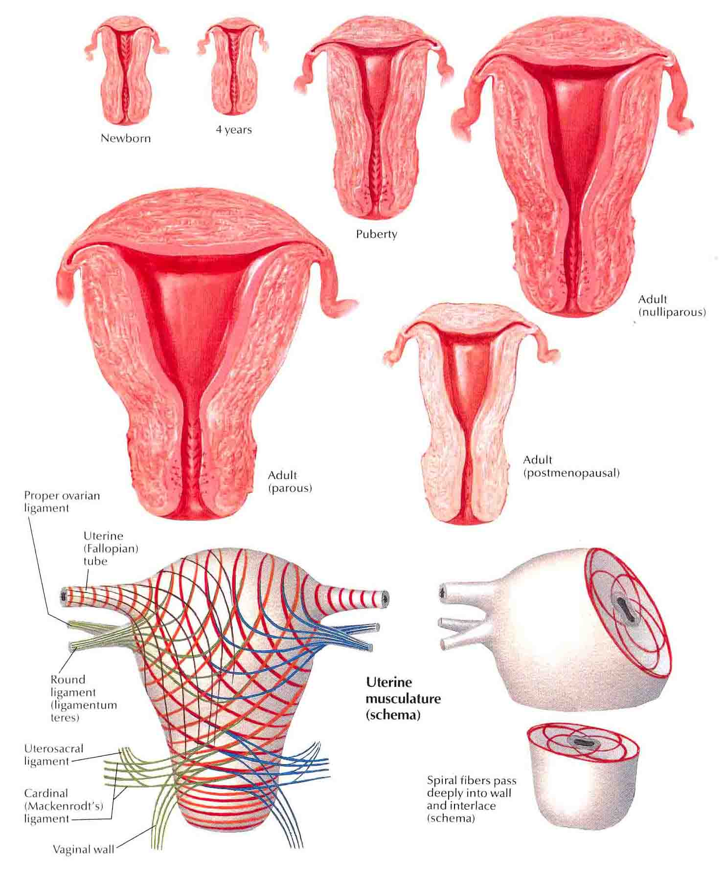 uterus-age-changes-and-muscle-pattern Top 10 Strongest Muscles in The Body