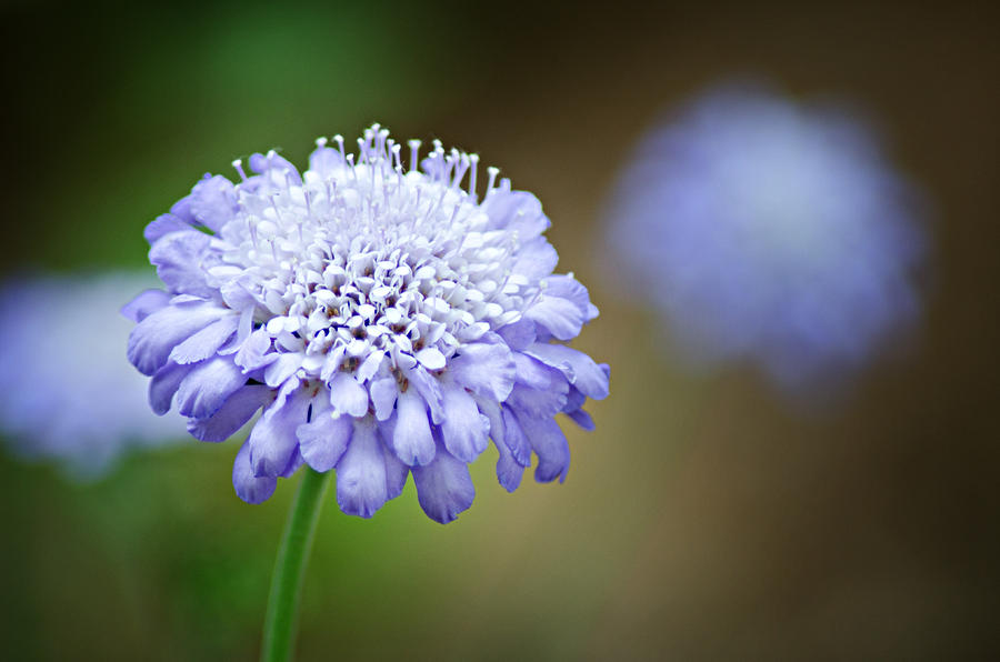 1205-8794-butterfly-blue-pincushion-flower-randy-forrester Top 10 Flowers That Bloom all Year