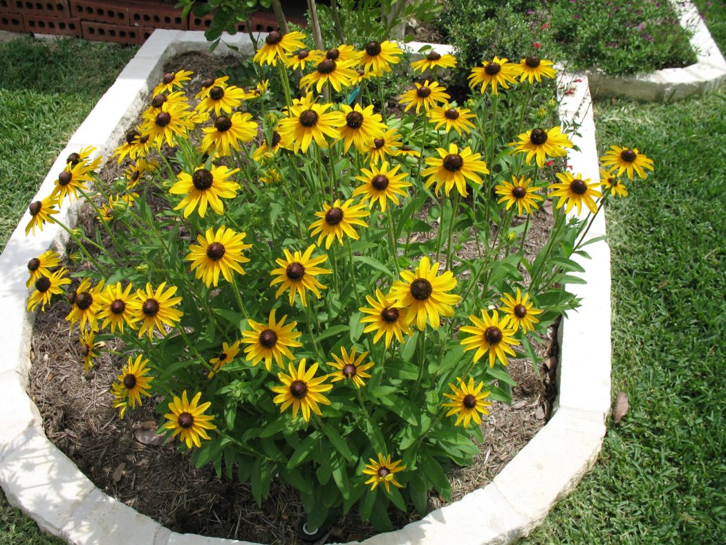 Black-Eyed-Susan-Rubeckia Top 10 Flowers That Bloom all Year