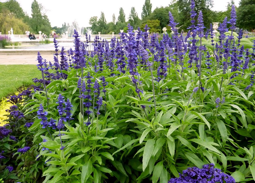 Blue Sage Top 10 Flowers That Bloom All Year