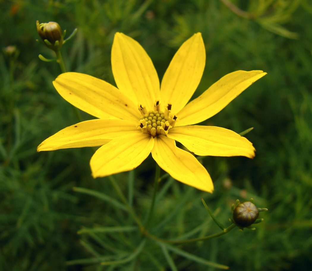 Coreopsis_verticillata Top 10 Flowers That Bloom all Year