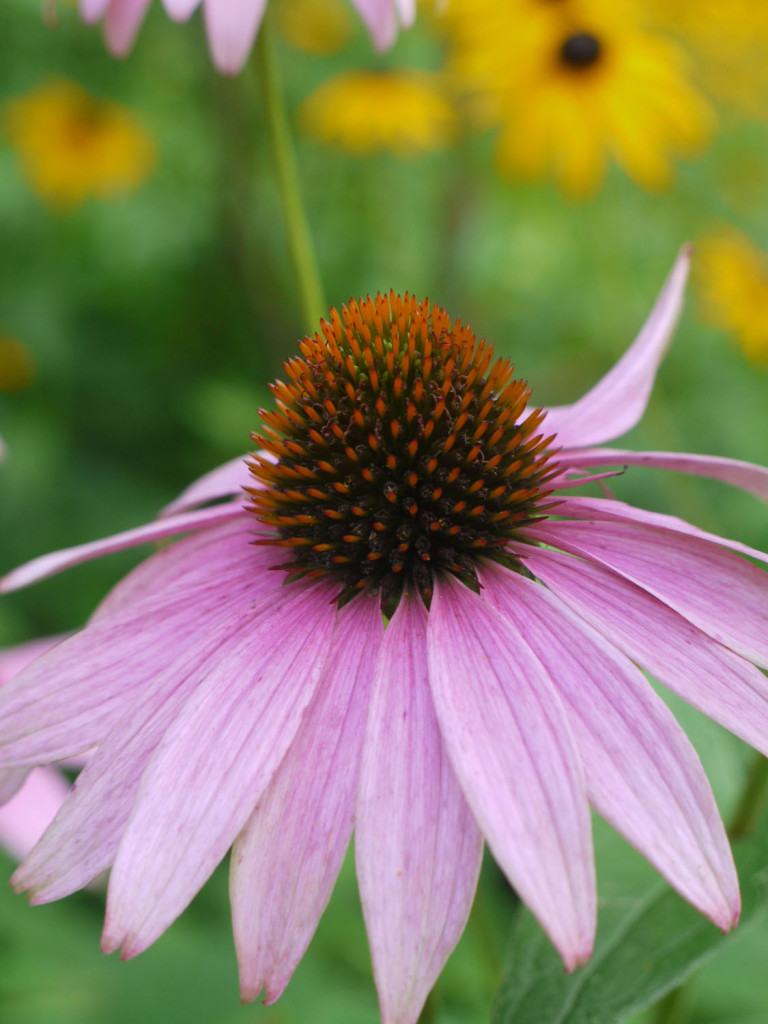 Purple-coneflower1-768x1024 Top 10 Flowers That Bloom all Year