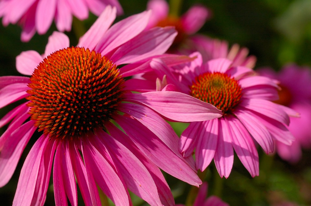 PurpleConeflower_USBotanicGarden_5336-1024x678 Top 10 Flowers That Bloom all Year