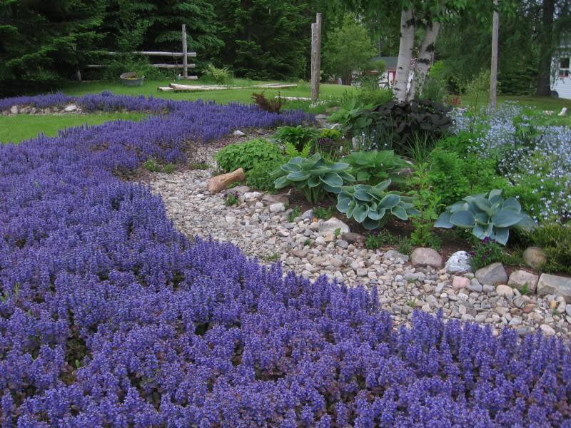 ajuga-bur-glow Top 10 Flowers That Bloom all Year