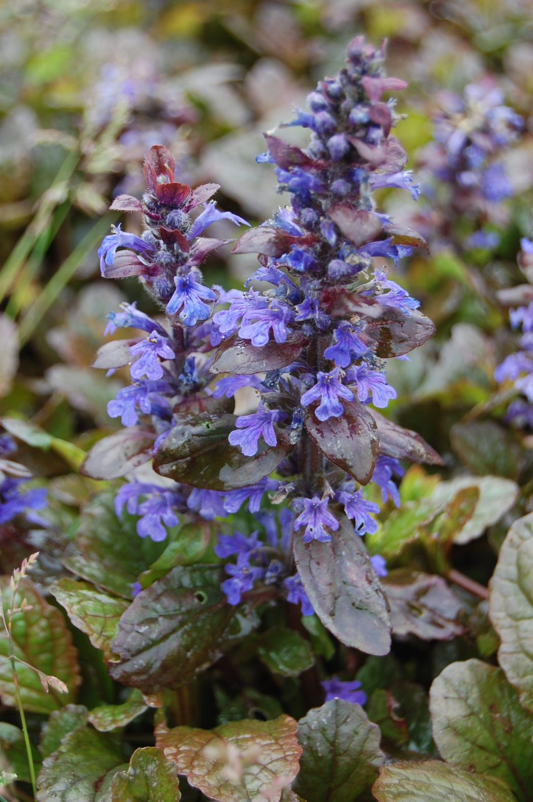 ajuga-reptans-braunherz-flower-e1336417281180 Top 10 Flowers That Bloom all Year