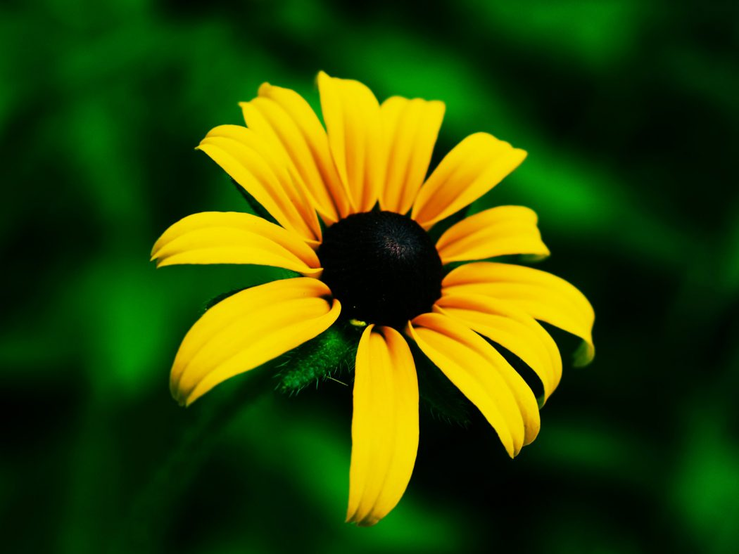 black_eyed_susan_flower_by_krodys Top 10 Flowers That Bloom all Year