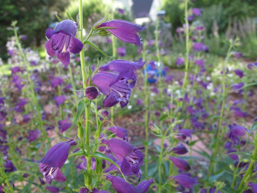 penstemon-mexicali-pikes-peak-purple-beardtongue-3 Top 10 Flowers That Bloom all Year