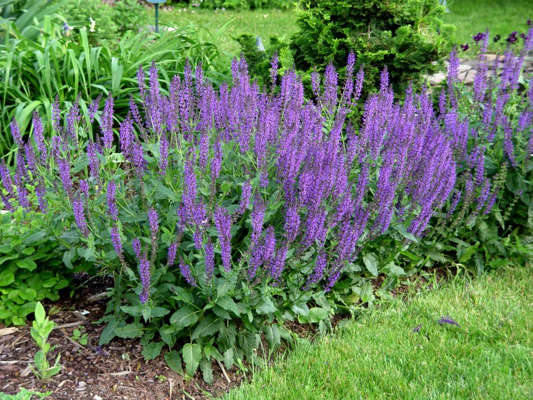 salvia.maynight Top 10 Flowers That Bloom all Year
