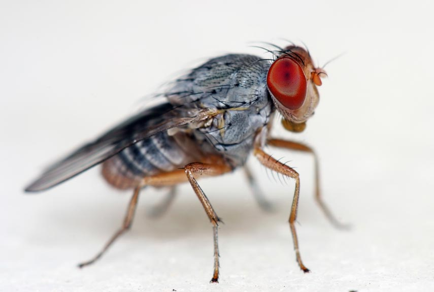 54cade624abd1_-_fruitfly-0112-mgi0yw-xln 5 Animals Who Have Launched Into Space